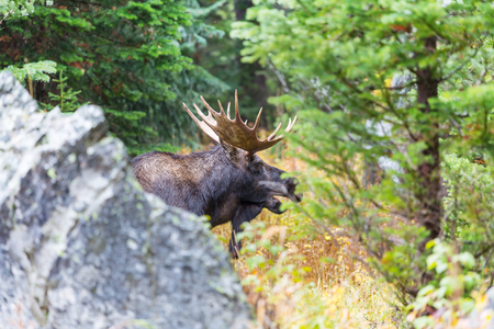Moose in autumn forest Stock Photo