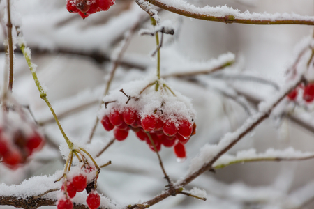 Red frozen berries viburnum in the winter season