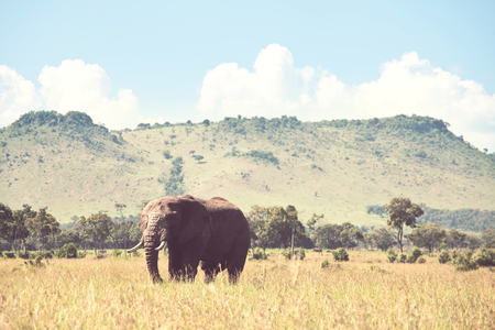 African elephant (Loxodonta africana) cow with young calf in wilderness bush, Kenya Stock Photo