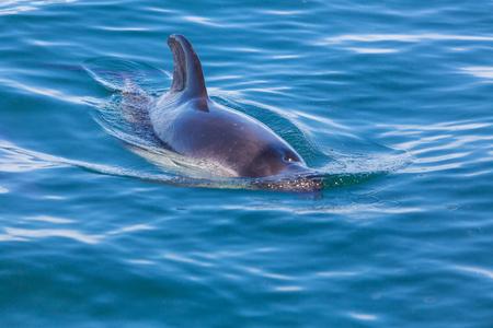 Dolphin in ocean, Argentina