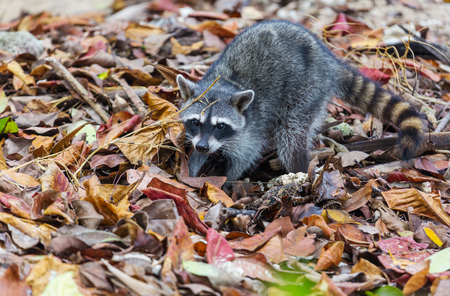 North American raccoon Standard-Bild