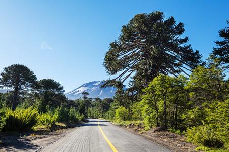 Unusual Araucaria (Araucaria araucana) trees in Andes mountains, Chile Reklamní fotografie
