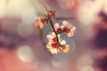 Fiori del giardino di fioritura della ciliegia in primavera