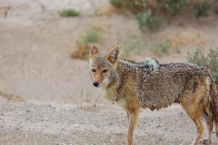 Kojote Nahaufnahme