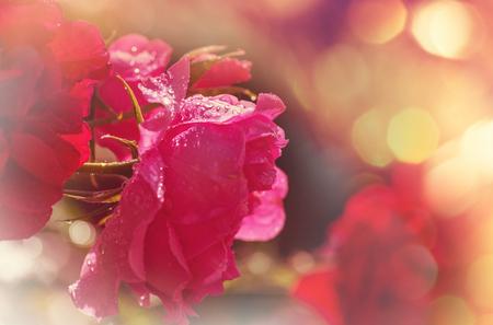 Pink Rose, beautiful nature background