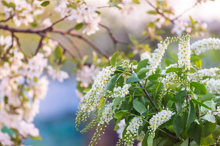 Blossoming tree in spring garden. Stock Photo