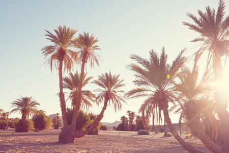 Palms plantation in Moroccan desert, Africa Reklamní fotografie