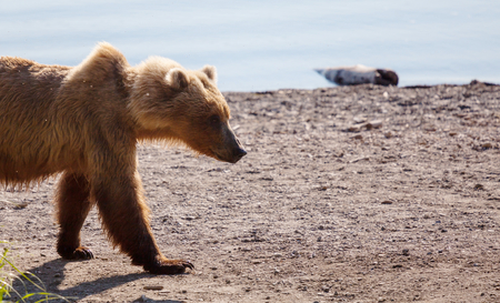 Wild Brown bear on Alaska
