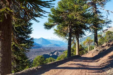 Unusual Araucaria (Araucaria araucana) trees in Andes mountains, Chile