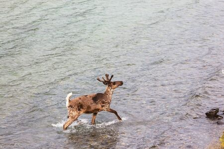 Wild Reindeer in summer season