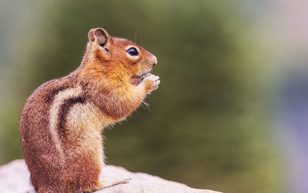 American chipmunk eats from hand