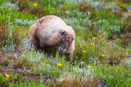 Wild marmot in its natural environment of mountains in summer season.