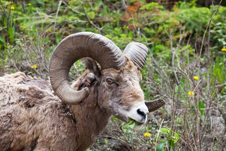 Big-Horned Sheeps, in the Banff National Park in Autumn Stockfoto