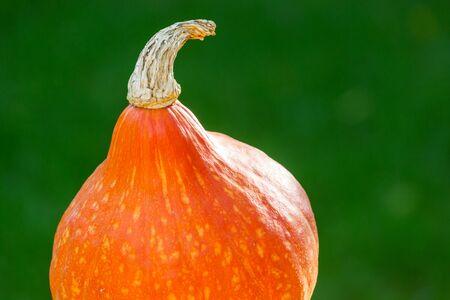 Orange pumpkin in garden at autumn season. 스톡 콘텐츠
