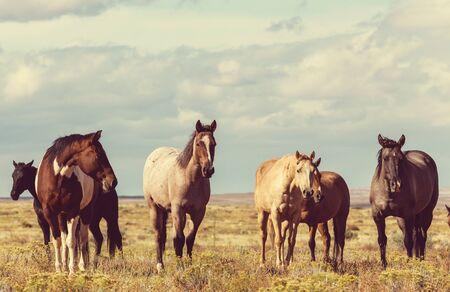 Troupeau de chevaux exécuté sur les pâturages au Chili, en Amérique du Sud