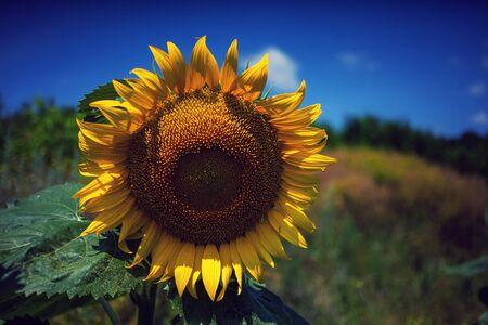Sunflowers field in summer day