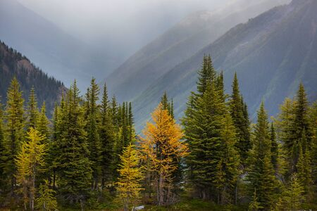 Beautiful golden larches in mountains, Canada. Fall season.