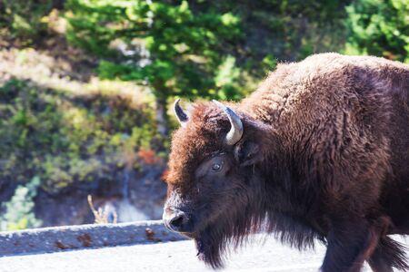 Wild buffalo  in Yellowstone National Park, USA 스톡 콘텐츠