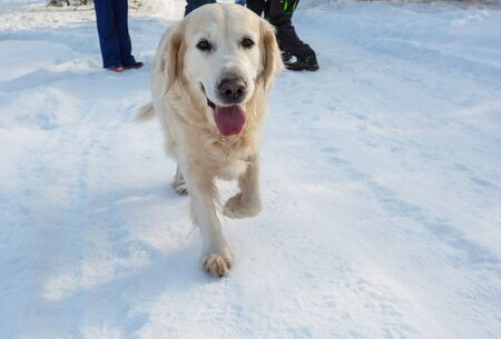 Dog retriever in winter forest