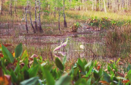Roseate Spoonbill in Everglades National Park, Florida, USA Stock Photo