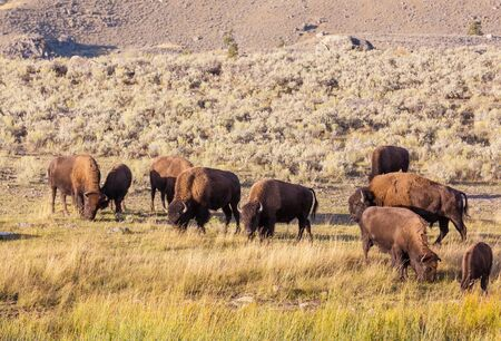 Wild buffalo  in Yellowstone National Park, USA Stock fotó