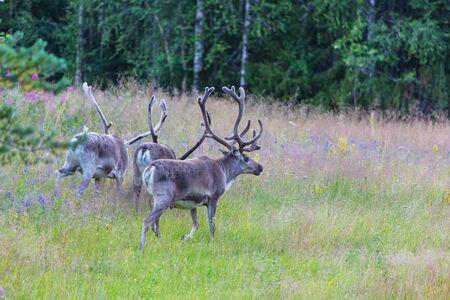 Reindeer in Norway in summer season