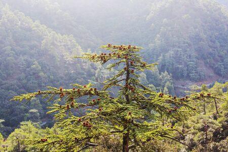 Green cedar trees in Cyprus mountains