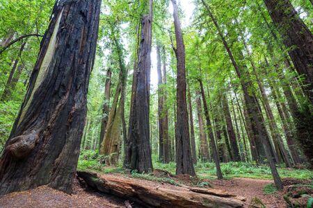Redwood trees in Northern California forest, USA 版權商用圖片
