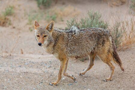 coyote closeup in the desert Standard-Bild