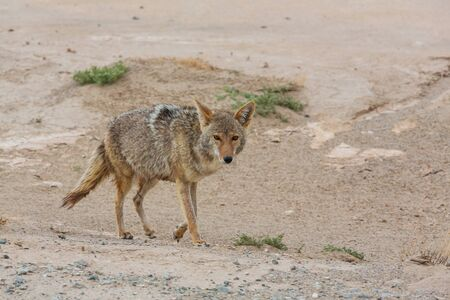 coyote closeup in the desert