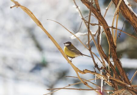 Greater titmouse bird sitting on a seed-can. winter season snow cold