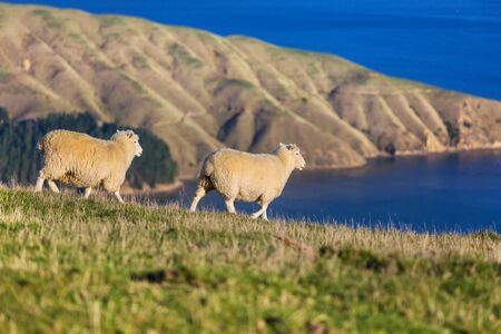 Sheep in green mountain meadow, rural scene in New Zealand Archivio Fotografico