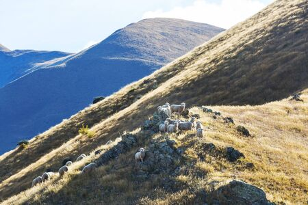 Sheep in green mountain meadow, rural scene in New Zealand