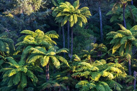 Forest with tree ferns, beautiful green landscapes in New Zealand