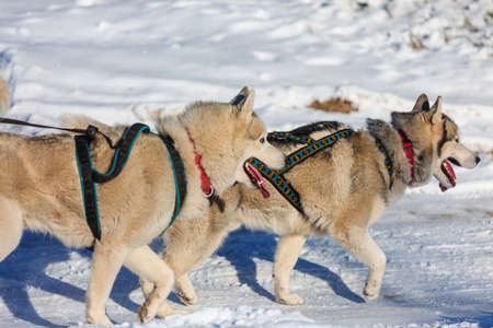 Winter sled dog race in the forest 版權商用圖片