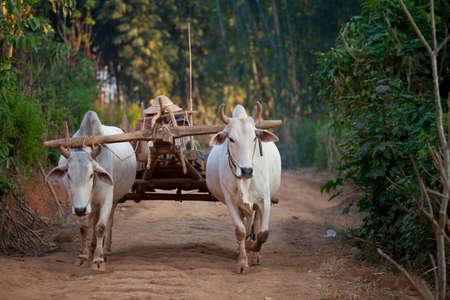 Two white oxen pulling wooden cart in Myanmar village Reklamní fotografie