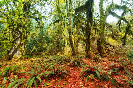 Autumn season in Hoh Rainforest, National Park, WA, USA. Beautiful unusual natural landscapes Stock fotó