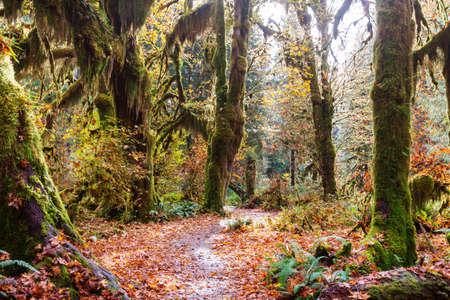 Autumn season in Hoh Rainforest, National Park, WA, USA. Beautiful unusual natural landscapes