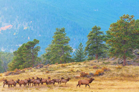 Mountain Bull Elk in autumn forest, Colorado, USA Banque d'images