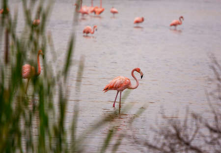 Pink flamingo in  lagoon, Mexico Banque d'images