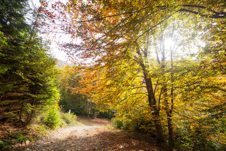 Colorful sunny forest scene in Autumn season with yellow trees in clear day.