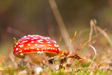 spotted toadstools in autumn season Banque d'images