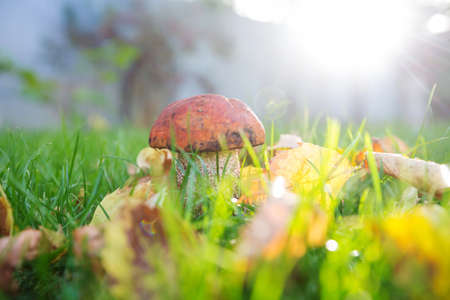 Edible mushrooms in a autumn forest Stok Fotoğraf
