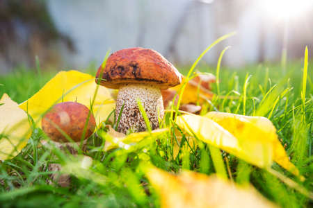 Edible mushrooms in a autumn forest Banque d'images