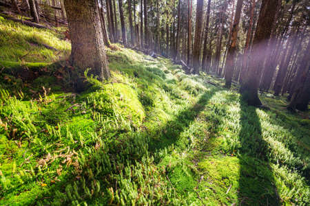 Sun beams in clear day in the green forest