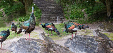 Wild Ocellated turkey in Tikal National Park, Gutemala. South America. Stockfoto - 158273065
