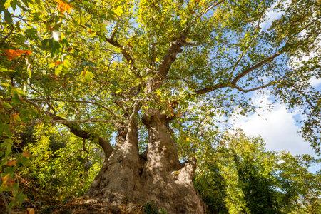 Unusual Big Platanus tree in Turkey. Green natural concept