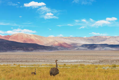 Greater rhea or nandu ostrich near Torres del Paine national park, Chile