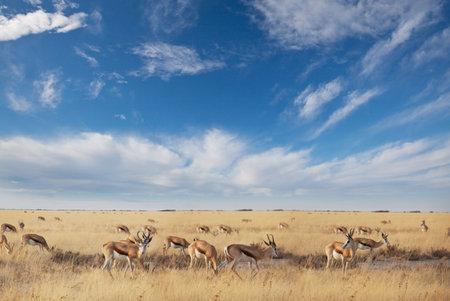 The springbok (Antidorcas marsupialis) in the african bush, Namibia. Travel Africa safari Reklamní fotografie