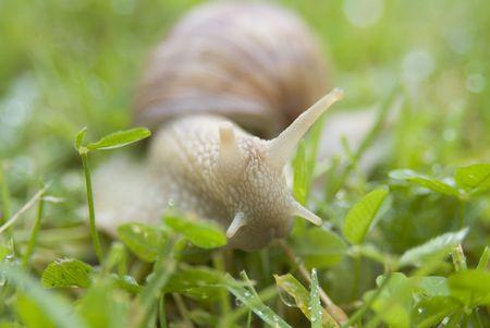 slobber: Grapevine snail